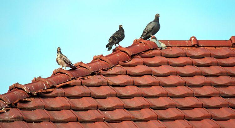 Roof Home Tile Tiles Birds Pigeons  - Candid_Shots / Pixabay